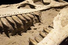 Απολίθωμα δεινοσαύρων - τυραννόσαυρος Rex Στοκ φωτογραφία με δικαίωμα ελεύθερης χρήσης