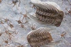 Απολίθωμα Trilobyte στο υπόβαθρο πετρών άμμου Στοκ εικόνα με δικαίωμα ελεύθερης χρήσης