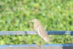 Αποδημητικό πτηνό Στοκ εικόνα με δικαίωμα ελεύθερης χρήσης
