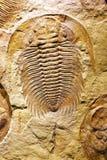 Απολιθωμένα καρκινοειδής στην πέτρα στοκ εικόνες