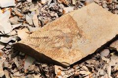 Απολιθωμένα ψάρια στην προϊστορική ηλικία Στοκ Φωτογραφία