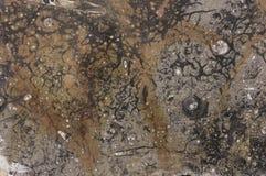 Απολιθωμένη σύσταση Στοκ Φωτογραφίες