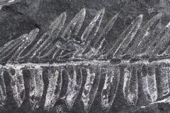 Απολιθωμένη φτέρη Στοκ Φωτογραφίες