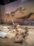 Απολιθωμένο έκθεμα δεινοσαύρων Στοκ εικόνα με δικαίωμα ελεύθερης χρήσης