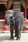 Αποδόσεις τσίρκων του νέου ινδικού ελέφαντα στο ζωολογικό κήπο Ταϊλάνδη, Phuket Παιχνίδι ελεφάντων με μια στεφάνη Στοκ φωτογραφίες με δικαίωμα ελεύθερης χρήσης
