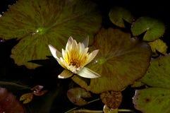 Απόγευμα ανθών Lotus Στοκ εικόνα με δικαίωμα ελεύθερης χρήσης