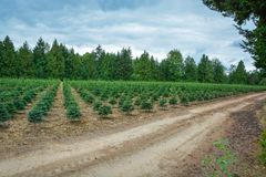 Απόθεμα φύτευσης των δέντρων πεύκων στη δενδροφυτεία για την αναδάσωση Στοκ Εικόνα