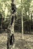 Απόκοσμο δέντρο hallow στο δάσος Στοκ φωτογραφία με δικαίωμα ελεύθερης χρήσης