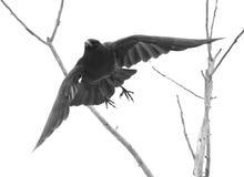 Απόκοσμο κοράκι στοκ εικόνες με δικαίωμα ελεύθερης χρήσης