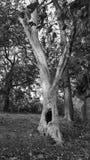 Απόκοσμο παλαιό δέντρο αποκριών Στοκ Εικόνα
