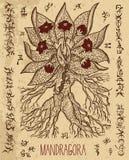 Απόκρυφη απεικόνιση με τη μαγική ρίζα mandragora και τα απόκρυφα σύμβολα ελεύθερη απεικόνιση δικαιώματος