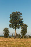 Απόμερα podocarpus δέντρα Στοκ φωτογραφία με δικαίωμα ελεύθερης χρήσης