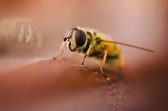 Απόμερη μέλισσα Στοκ Εικόνα
