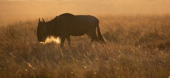 Απόμερος αρσενικός πιό wildebeest, taurinus Connochaetes, που βόσκει στην αυγή στοκ φωτογραφία με δικαίωμα ελεύθερης χρήσης