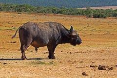 Απόμερος αφρικανικός ταύρος Buffalo στοκ φωτογραφίες με δικαίωμα ελεύθερης χρήσης