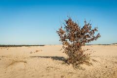 Απόμερος δρύινος θάμνος με τα καφετιά μαραμένα φύλλα στην κλίση ενός αμμόλοφου άμμου στοκ φωτογραφίες