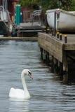Απόμερος κύκνος που κολυμπά στον ποταμό Τάμεσης στοκ φωτογραφίες με δικαίωμα ελεύθερης χρήσης