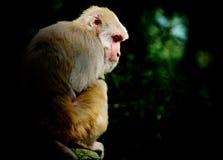 Απόμερος πίθηκος Στοκ εικόνα με δικαίωμα ελεύθερης χρήσης