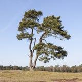 Απόμερο δέντρο πεύκων με το δάσος στο υπόβαθρο Στοκ Εικόνα