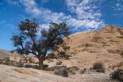 Απόμερο δέντρο πεύκων Στοκ εικόνες με δικαίωμα ελεύθερης χρήσης