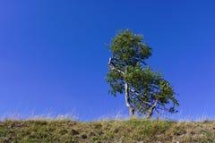 Απόμερο δέντρο σημύδων σε μια χλοώδη κορυφογραμμή με το σαφή μπλε ουρανό στοκ φωτογραφία με δικαίωμα ελεύθερης χρήσης