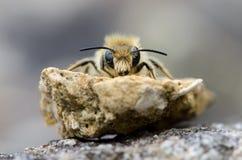 Απόμερο κεφάλι μελισσών επάνω Στοκ φωτογραφία με δικαίωμα ελεύθερης χρήσης
