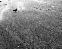 Απόμερο περιστέρι στο πεζοδρόμιο Στοκ Φωτογραφία