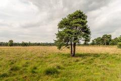 Απόμερο σκωτσέζικο πεύκο σε μια ολλανδική επιφύλαξη φύσης Στοκ εικόνες με δικαίωμα ελεύθερης χρήσης