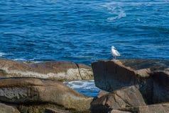 Απόμερο seagull στους βράχους στον Ατλαντικό Ωκεανό Στοκ Εικόνες