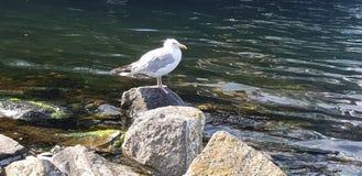 Απόμερο seagull στοκ εικόνες