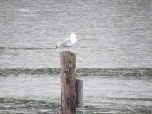 Απόμερο seagull Στοκ εικόνα με δικαίωμα ελεύθερης χρήσης