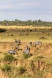 Απότομη κάθοδος στον ποταμό Zebras κοντά στον ποταμό της Mara Κένυα, Αφρική στοκ φωτογραφίες με δικαίωμα ελεύθερης χρήσης