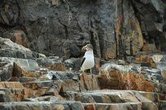 Απότομοι βράχοι κοντά σε Pucusana, Περού Στοκ φωτογραφία με δικαίωμα ελεύθερης χρήσης