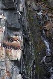 απότομοι βράχοι guillemote Στοκ Εικόνες