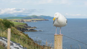 Απότομοι βράχοι Moher με seagull Στοκ Εικόνες