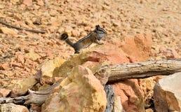 Απότομος βράχος Chipmunk στοκ εικόνες