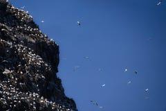 Απότομος βράχος Gannet ` s Στοκ εικόνα με δικαίωμα ελεύθερης χρήσης