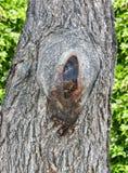 Απόφυση σε ένα δέντρο, σύσταση φλοιών, παλαιό δέντρο, φύλλα, φωτογραφία, εικόνα Στοκ Φωτογραφία