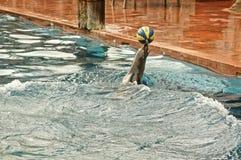Απόδοση λιονταριών θάλασσας στοκ φωτογραφία με δικαίωμα ελεύθερης χρήσης