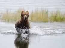 από την Αλάσκα αντέξτε το καφετί τρεχούμενο νερό Στοκ φωτογραφία με δικαίωμα ελεύθερης χρήσης