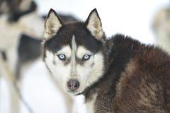 Από την Αλάσκα γεροδεμένο σκυλί Στοκ φωτογραφία με δικαίωμα ελεύθερης χρήσης