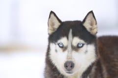 Από την Αλάσκα γεροδεμένο σκυλί Στοκ Εικόνες