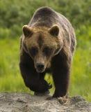 Από την Αλάσκα σταχτύς αντέχει Στοκ Εικόνες