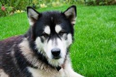 από την Αλάσκα malamute στοκ φωτογραφίες