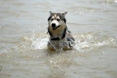 από την Αλάσκα malamute Στοκ φωτογραφίες με δικαίωμα ελεύθερης χρήσης