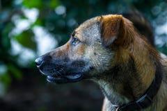 από την Ανατολία ποιμένας σκυλιών Στοκ φωτογραφίες με δικαίωμα ελεύθερης χρήσης