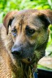 από την Ανατολία ποιμένας σκυλιών Στοκ Φωτογραφία