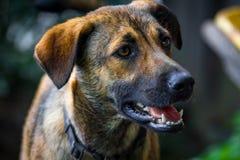 από την Ανατολία ποιμένας σκυλιών Στοκ Φωτογραφίες