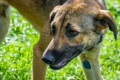 από την Ανατολία ποιμένας σκυλιών Στοκ εικόνες με δικαίωμα ελεύθερης χρήσης