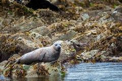 Από την Αλάσκα λιμενική σφραγίδα Στοκ Εικόνα